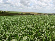 Seca e geadas prejudicam produção de milho no Paraná