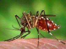 Fêmeas do Aedes aegypti transmitem doenças como dengue e zika por meio da picada em seres humanos. Insetos geneticamente modificados podem reduzir a quantidade de larvas. Crédito: Divulgação / Portal Brasil/ em: http://www.mcti.gov.br/noticia/-/asset_publisher/epbV0pr6eIS0/content/%E2%80%98aedes-do-bem%E2%80%99-liberado-pela-ctnbio-ajuda-a-combater-o-mosquito-da-dengue;jsessionid=1CD7C5D68ECE6E2EA95796A13A8E7405