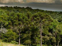Assembleia aprova regras para utilização sustentável da mata de araucárias no Paraná