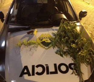PM encontra plantação de maconha no Santa Cecília em Jaguariaíva