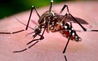 Aedes Aegipti, mosquito transmissor da dengue, chikungunya e zica vírus. Foto: Agência Senado/Prefeitura de São Paulo em: http://www12.senado.leg.br/noticias/materias/2016/02/01/datasenado-quer-ouvir-brasileiros-sobre-multa-a-quem-nao-colabora-na-luta-contra-aedes-aegypti